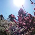 2015ピンクの花まっさかり!桜&紅白梅&松の枝。風流三昧の春