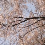 桜のピンクの色彩効果。「目で色をとらえる」ということ