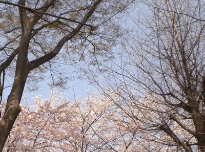sakura-sky