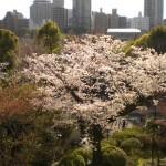 上野公園の淡いピンクのしだれ桜が美しい!ミニ清水寺も要チェック