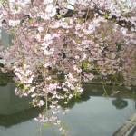 皇居の淡いピンクのしだれ桜&「丸の内OL気分」にひたる田舎者