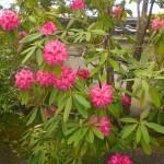 濃いピンクのボンボリみたいな花にビックリ!⇒シャクナゲでした