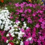 春に咲く花といえばピンク。季節感ってお花の色から来てるのかも?