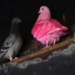 ピンクのハトが!?派手なピンクの動物とグッズを選抜!