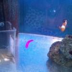 蛍光ピンクの海水魚「クレナイニセスズメ」撮影 in熱帯魚センター♪