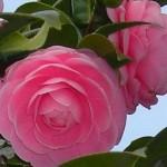 バラみたいに優雅!ピンクのさざんかの乱れ咲きが美しい・・・!