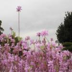 ヤマツツジの一種?「ミヤマツツジ」という空へ伸びるピンクの花