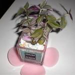 「トラデスカンチア・フルミネンシス」~ピンクっぽい観葉植物