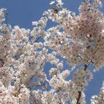 桜の開花宣言2017♪春到来にワクワク(花粉症ひどいけど)