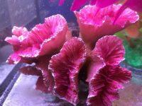 お魚水槽の水草をピンクにしたよ☆人工サンゴもピンク系に統一