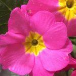 「なんの花だっけ?」と思ったら学校の花壇に咲いてたペチュニア